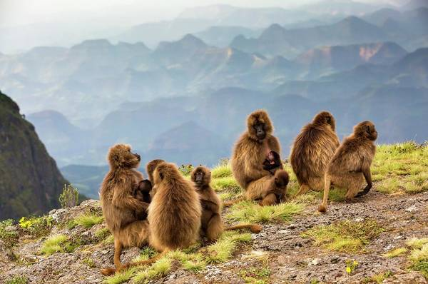 Wall Art - Photograph - Gelada Baboon Family On A Cliff Edge by Peter J. Raymond