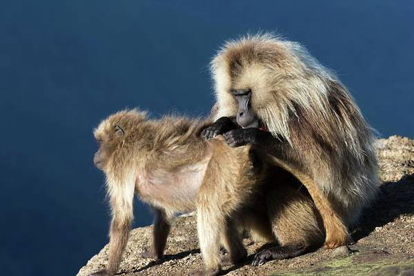 Old World Monkey Photograph - Gelada Baboons Grooming by Peter J. Raymond