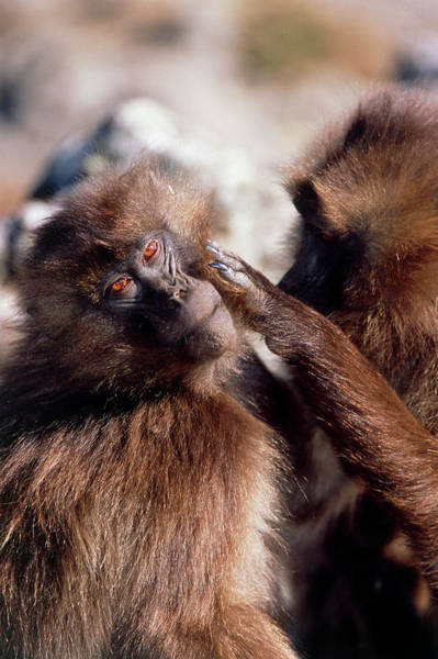 Baboons Photograph - Gelada Baboons Grooming by Tony Camacho/science Photo Library