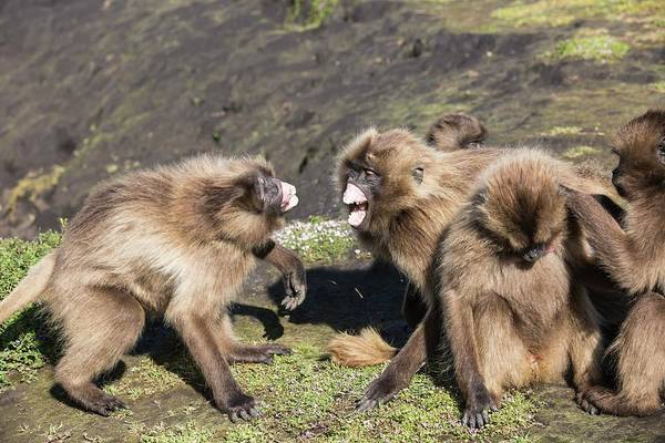 Old World Monkey Photograph - Gelada Baboons Threat Display by Peter J. Raymond