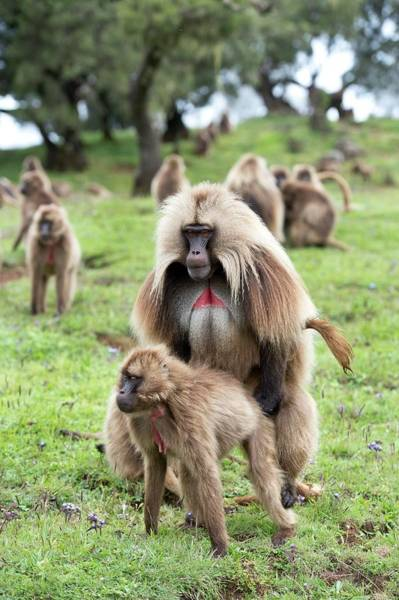 Baboons Photograph - Geladas Mating. by Tony Camacho
