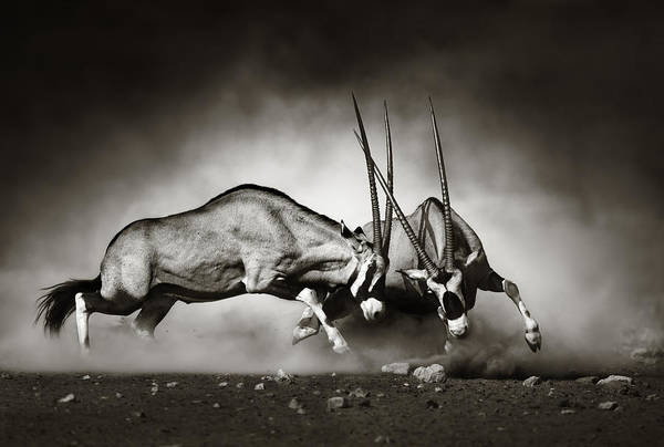 Monochrome Photograph - Gemsbok Fight by Johan Swanepoel