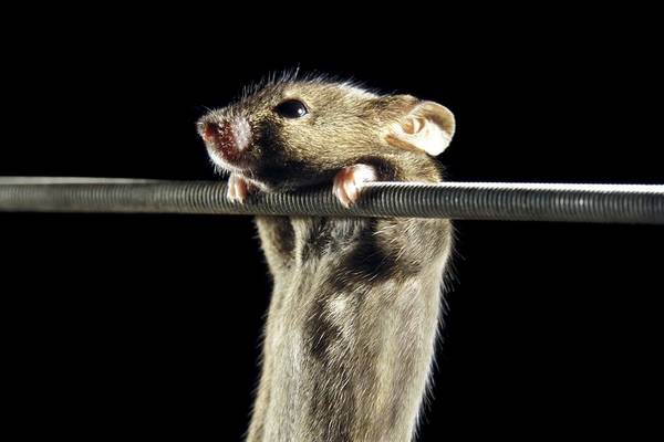 Rodents Photograph - Gene Therapy Research On Mice by Patrick Landmann/science Photo Library