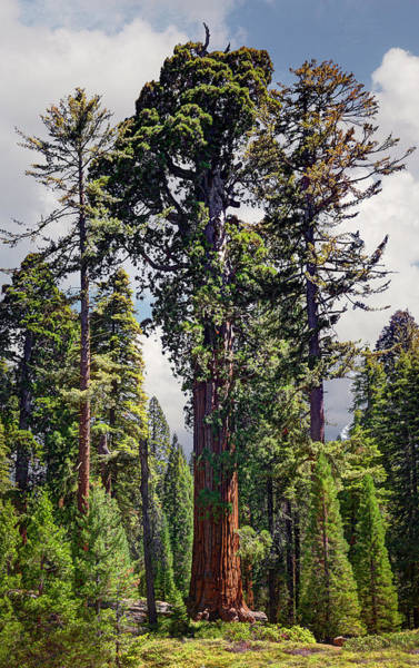 Kings Canyon Photograph - General Grant Sequoia Tree, Kings Canyon by Ed Freeman
