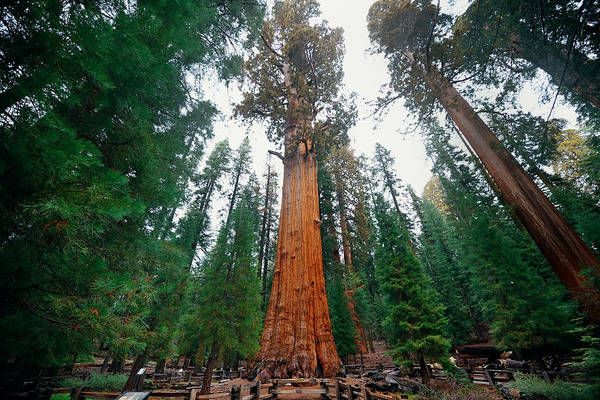 Photograph - General Sherman Tree by Songquan Deng