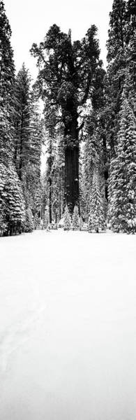 Sherman Photograph - General Sherman Trees In A Snow Covered by Panoramic Images