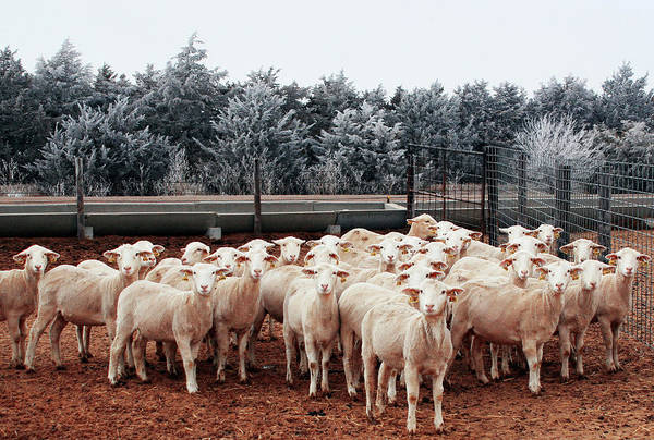 Ovine Photograph - Genetically Modified Sheep by Michael Heaton/us Department Of Agriculture/science Photo Library