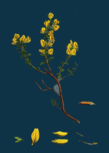 Wall Art - Drawing - Genista Pilosa Hairy Green-weed by English School