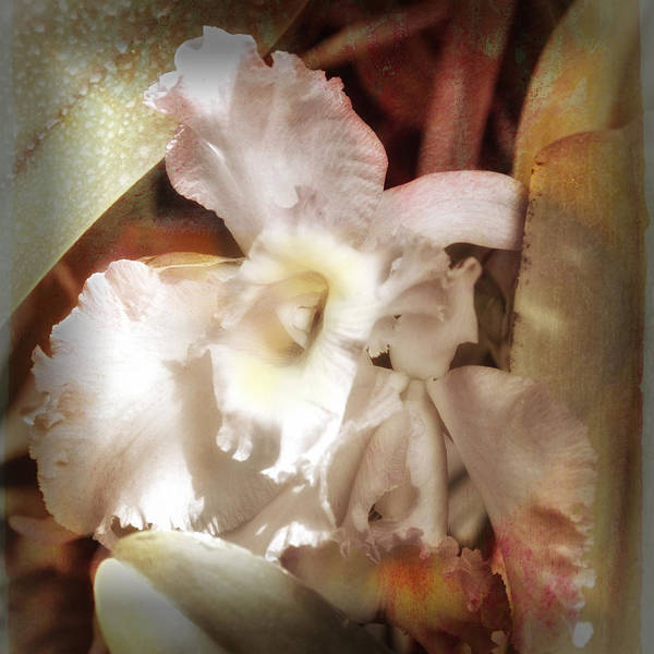 Photograph - Gentle Orchid by Barry Weiss