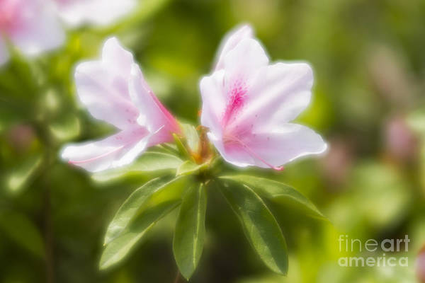 Photograph - Gently Bloom by Tad Kanazaki
