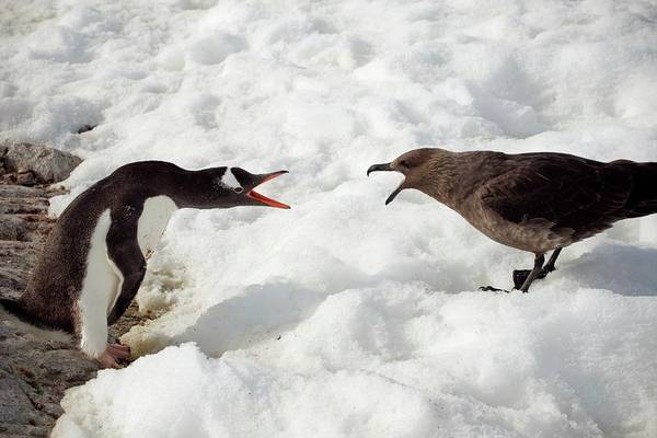 Gentoo Wall Art - Photograph - Gentoo Penguin And Skua by Peter Menzel/science Photo Library