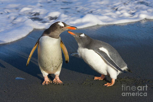 Wall Art - Photograph - Gentoo Penguin Chick Begging For Food by Yva Momatiuk and John Eastcott