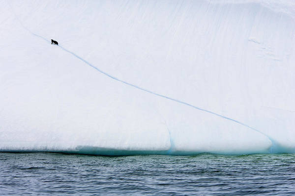 Gentoo Wall Art - Photograph - Gentoo Penguin Climbing An Iceberg by William Ervin/science Photo Library