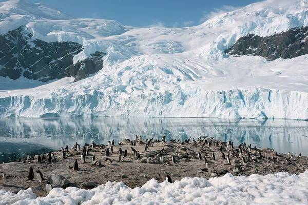 Gentoo Wall Art - Photograph - Gentoo Penguin Colony by Peter Menzel/science Photo Library