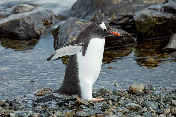 Gentoo Wall Art - Photograph - Gentoo Penguin by Peter Menzel/science Photo Library
