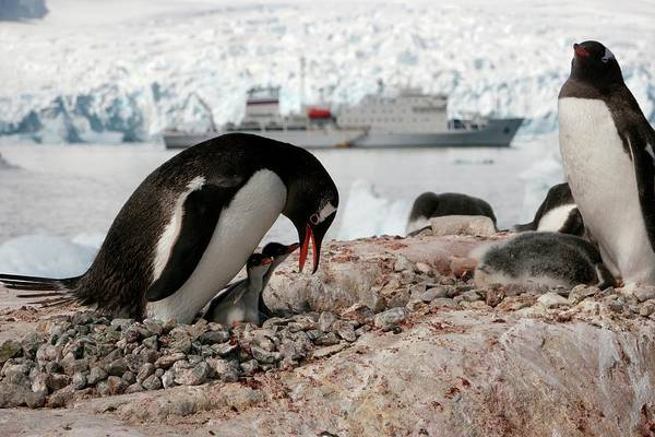 Gentoo Wall Art - Photograph - Gentoo Penguins And Chicks by Peter Menzel/science Photo Library