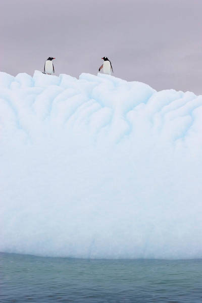 Gentoo Wall Art - Photograph - Gentoo Penguins On An Iceberg by William Ervin/science Photo Library