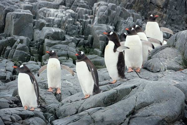Gentoo Wall Art - Photograph - Gentoo Penguins by Peter Menzel/science Photo Library