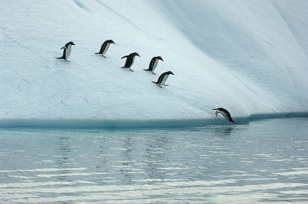 Plunge Photograph - Gentoo Penguins Take A Rest by Peter McBride