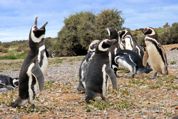 Photograph - Gentoo Penguins by Tap On Photo