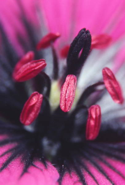 Anther Wall Art - Photograph - Geranium Flower by Dr Jeremy Burgess/science Photo Library