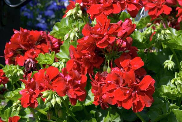 Red Geraniums Wall Art - Photograph - Geranium 'precision Dark Red' by Adrian Thomas