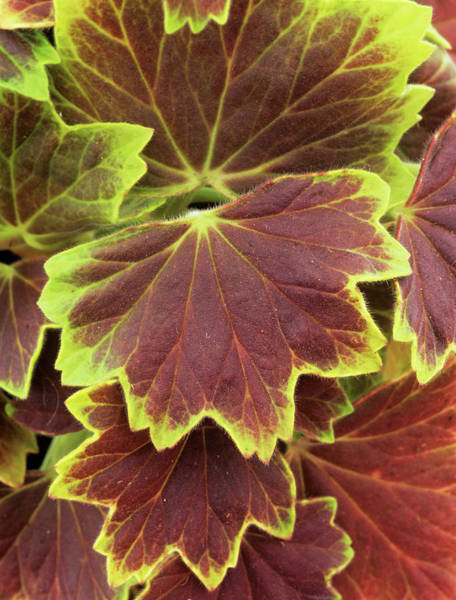 Centennial Photograph - Geranium 'vancouver Centennial' Leaves by Geoff Kidd/science Photo Library