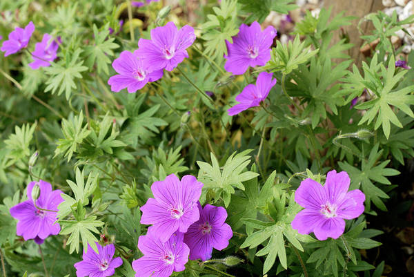 Hybrid Photograph - Geranium 'wisley Hybrid' by Anthony Cooper/science Photo Library