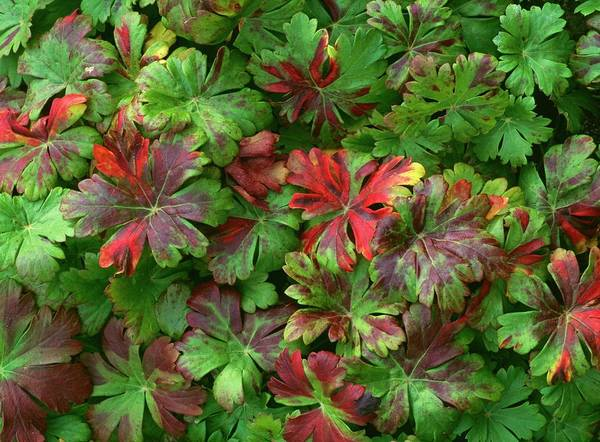 Bronze Leaf Wall Art - Photograph - Geranium X Cantabrigiense by Geoff Kidd/science Photo Library