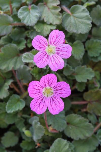 Wall Art - Photograph - Geranium X Variable 'bishop's Form' by Geoff Kidd/science Photo Library