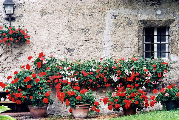 Photograph - Geraniums by Gerry Bates