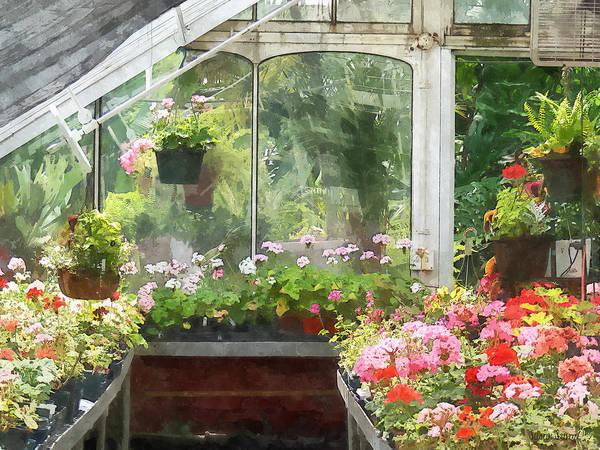 Photograph - Geraniums In Greenhouse by Susan Savad