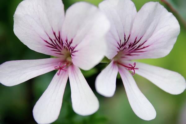 Perennial Photograph - Geraniums (pelargonium Sp.) by Stephen Harley-sloman/science Photo Library