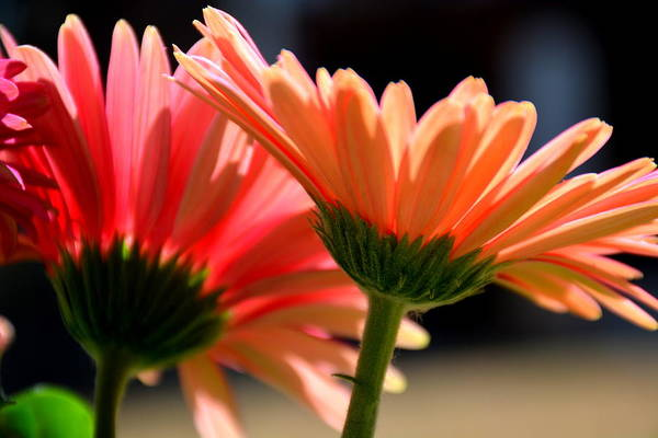 Wall Art - Photograph - Gerber Daisies by Lisa Wooten