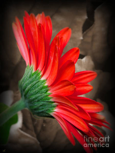 Wall Art - Photograph - Gerber Daisy Bashful Red by Ella Kaye Dickey