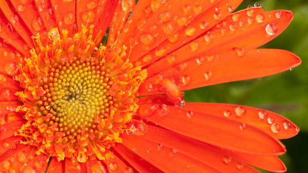 Photograph - Gerber Daisy by John Magyar Photography