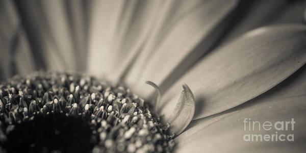 Photograph - Gerbera Blossom - Bw by Hannes Cmarits