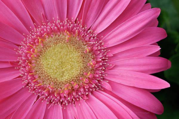 Photograph - Gerbera Daisy 2 by Vickie Szumigala