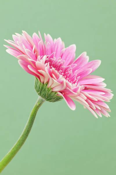 Daisy Photograph - Gerbera Daisy Flower by Andrew Dernie
