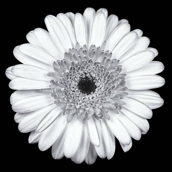 Photograph - Gerbera Daisy Monochrome by Adam Romanowicz