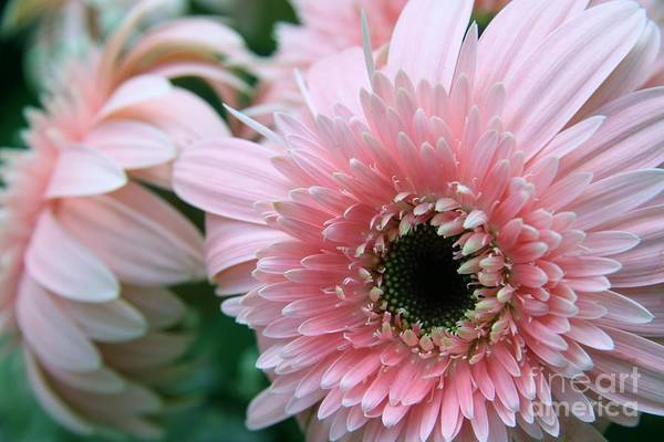 Photograph - Gerbera Explosion by Mary Lou Chmura