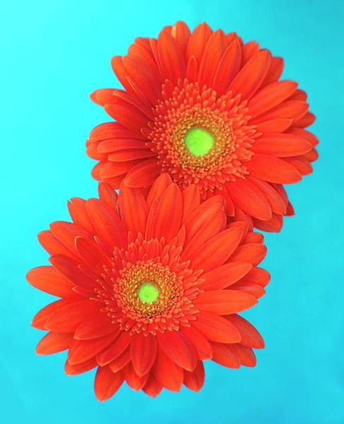 Horticulture Photograph - Gerbera Flowers by Ian Hooton/science Photo Library