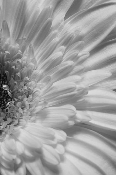Photograph - Gerbera by Kim Aston