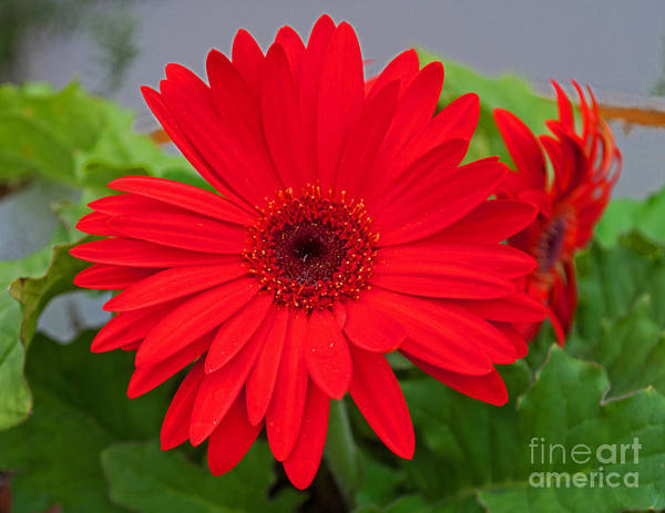 Photograph - Gerbera Love by George D Gordon III