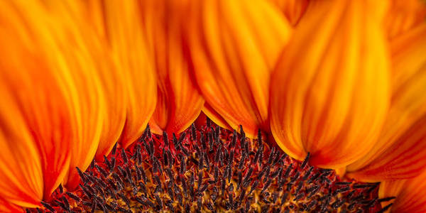 Photograph - Gerbera On Fire by Adam Romanowicz