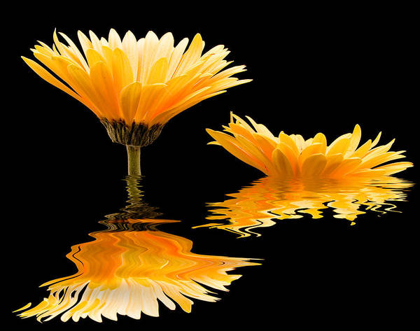 Photograph - Gerbera Reflection by Jean Noren