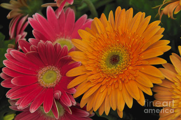 Photograph - Gerbera by William Norton