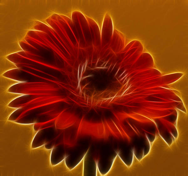 Photograph - Gerbia Daisy by Bill Barber