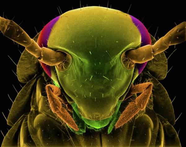 German Food Photograph - German Cockroach by Dennis Kunkel Microscopy/science Photo Library