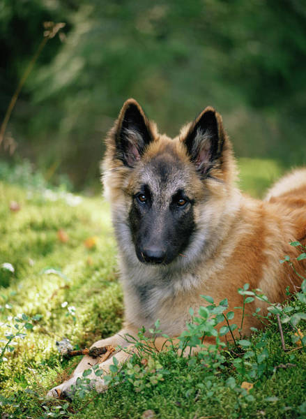 Shepherds Photograph - German Shepherd Dog by Bjorn Svensson/science Photo Library